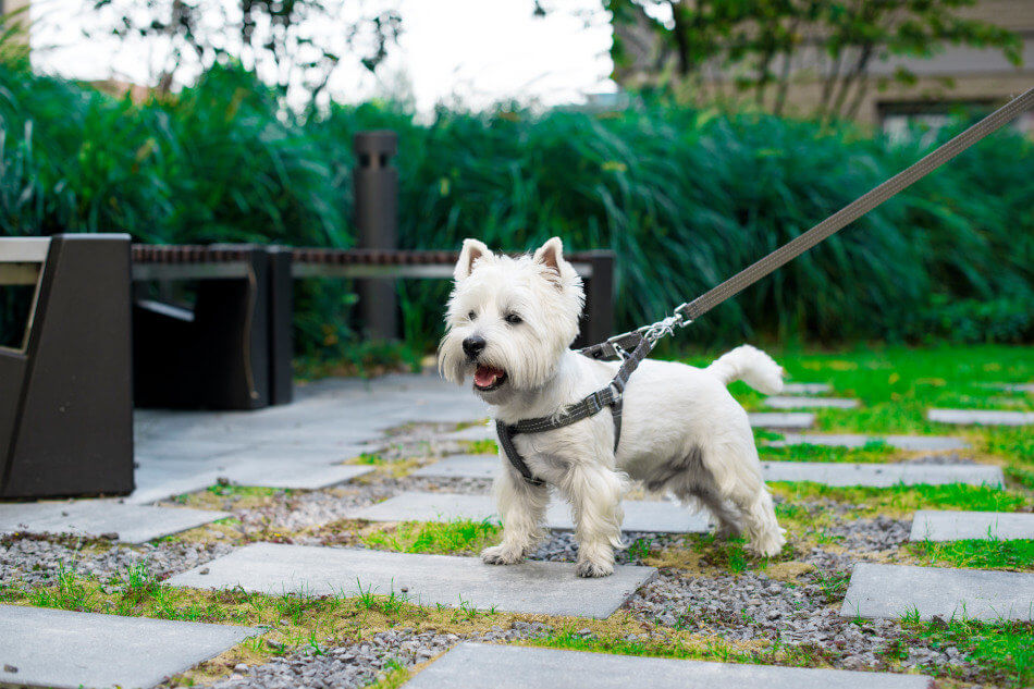 Pies west highland white terrier